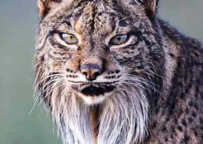 lince-macho-frontal